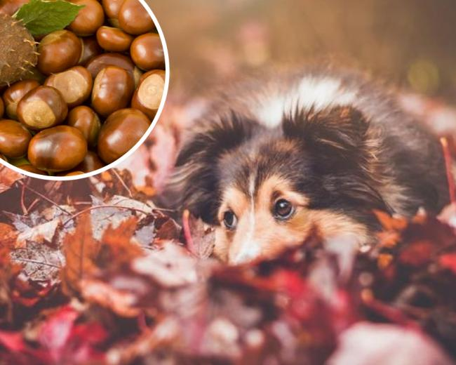 'Serious health risk' - keep your dog away from conkers this autumn
