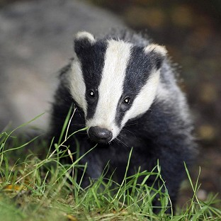 The first cull of badgers is due to go ahead in Gloucestershire