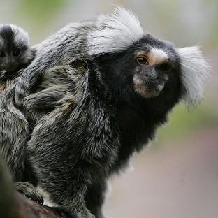 Marmosets and other monkeys are no longer fed bananas at the