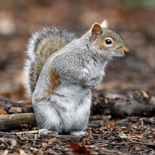 A squirrel like the one that went mad after falling down a chimney