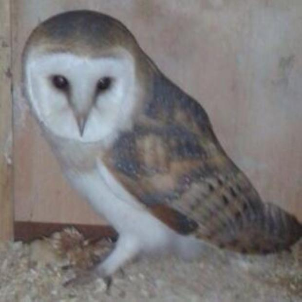 Bicester Advertiser: A barn owl similar to the one found on the A40