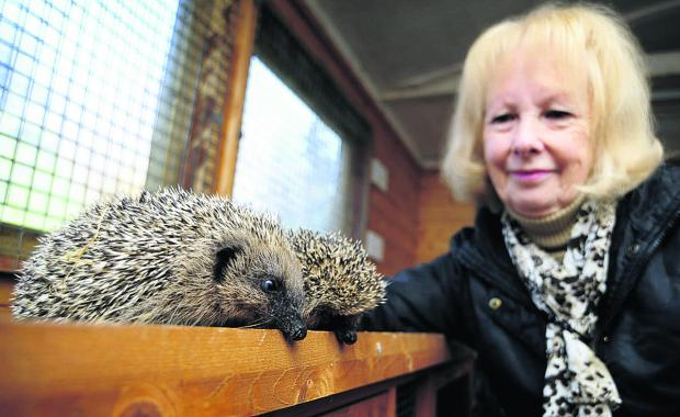 Bicester Advertiser: Janet Fisher checks on two of the three surviving hedgehogs rescued from the floods and gives them some food.  Picture: OX64588 David Fleming