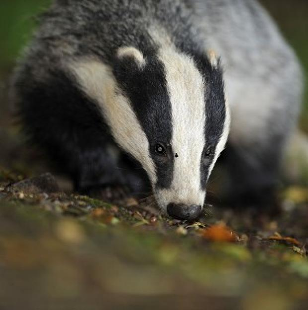 Bicester Advertiser: Pilot badger culls will continue this year as part of efforts to tackle tuberculosis (TB) in cattle