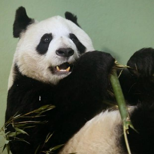 Bicester Advertiser: Tian Tian failed to mate naturally so has been artificially inseminated