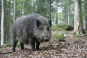 Oink: Warning to dog walkers as wild boar seen in Oxfordshire